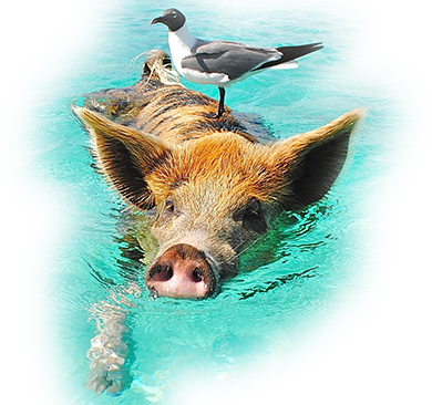 Bird standing on a swimming pig